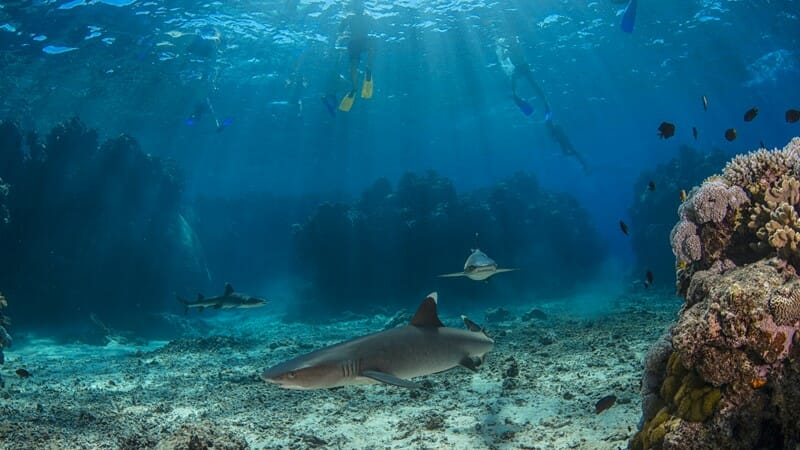 Snorkel with the sharks at Barefoot Kuata Island in Fiji